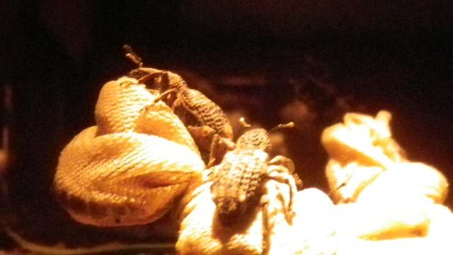 オリーブアナアキゾウムシ真夜中の観察記録