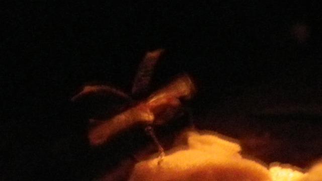 オリーブアナアキゾウムシ 飛ぶ