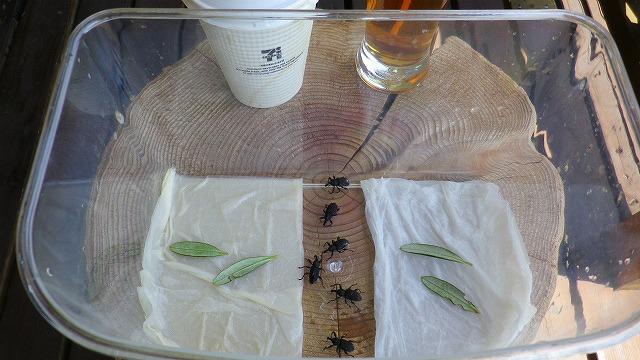 オリーブアナアキゾウムシはコーヒーに弱いか実験