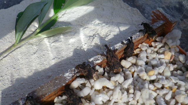 オリーブアナアキゾウムシは石灰が苦手か?