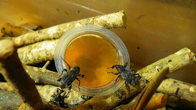 昆虫ゼリーを食べるオリーブアナアキゾウムシ