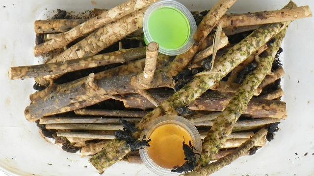 オリーブアナアキゾウムシの昆虫ゼリー好き嫌い実験