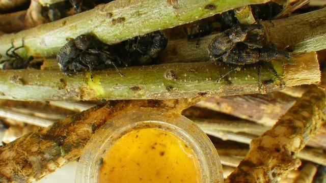 オリーブアナアキゾウムシが好きな昆虫ゼリー