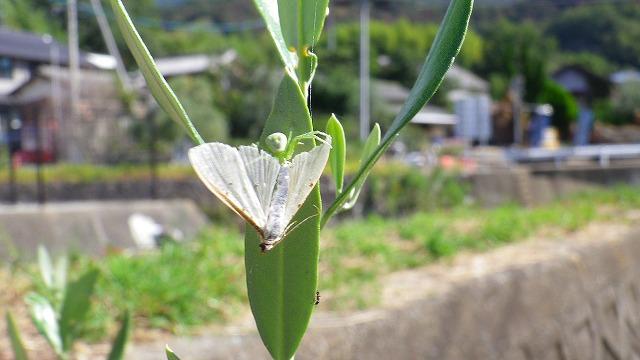 ハマキガを食べるアズチグモ