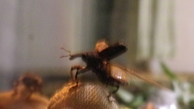 飛ぶ オリーブアナアキゾウムシ
