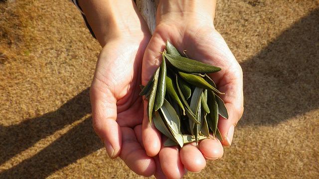 国産 有機オリーブ茶