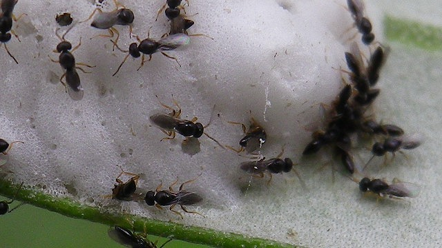 ハマキムシの卵を襲うアオムシコバチ