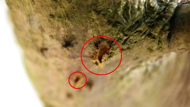 セミがオリーブの樹液を吸う
