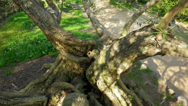 オリーブの古木