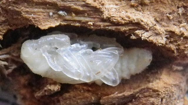 オリーブアナアキゾウムシの蛹
