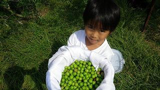 山田オリーブ園 収穫
