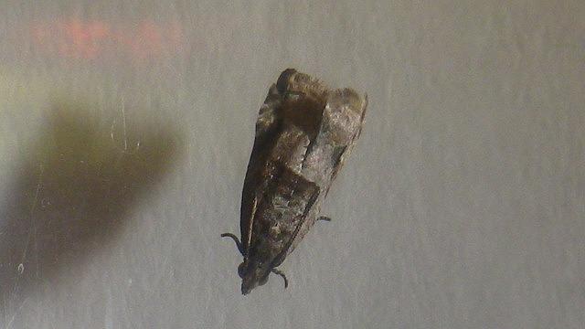 マダラメイガ亜種