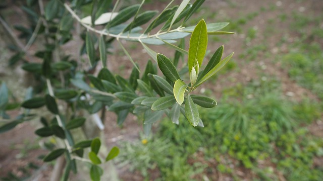 有機オリーブ茶 春摘み