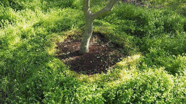 オリーブの根元を覆って草を抜く