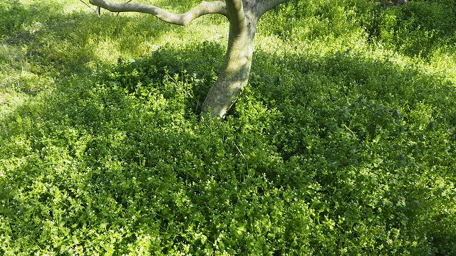 草が根元を覆ったオリーブの木