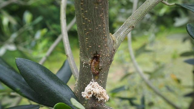 コウモリガの幼虫
