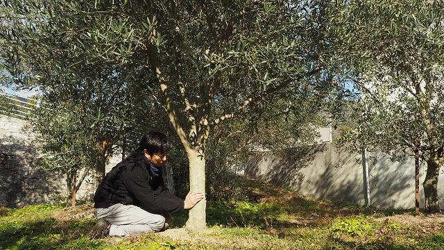 有機オリーブの木