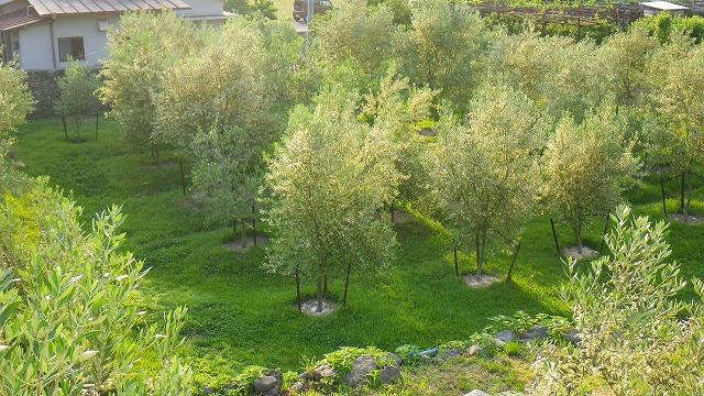 小豆島 有機栽培 オリーブ畑