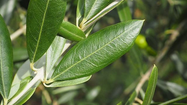 オリーブの葉 マンザニロ