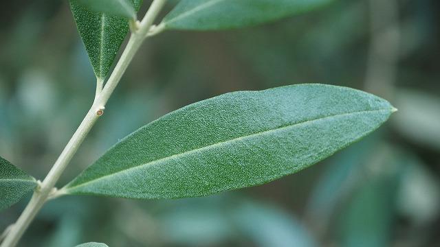 オリーブの葉 レッチーノ