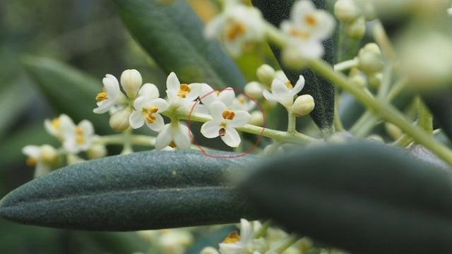 オリーブの花 不完全花