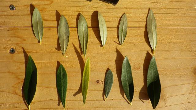 オリーブ ジャンボカラマタの葉