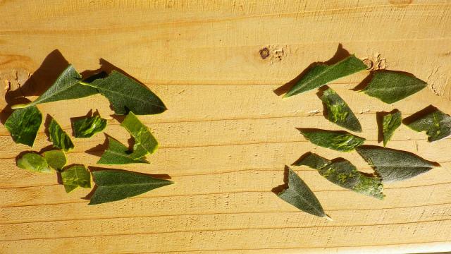 オリーブ カラマタとジャンボカラマタの葉の味の違い