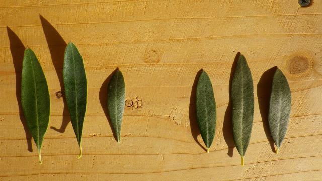 オリーブ カラマタとジャンボカラマタの葉