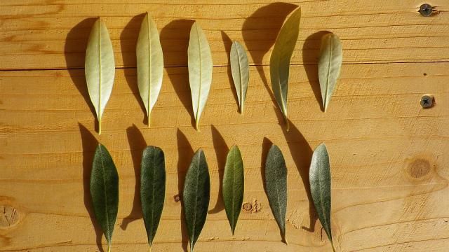 オリーブ カラマタの葉