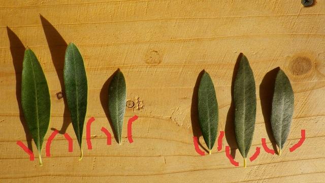 オリーブ カラマタとジャンボカラマタの葉の違い