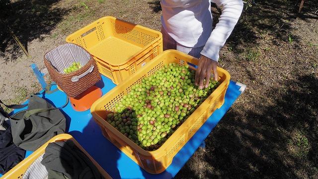 オリーブの実 緑果