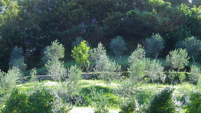 オリーブ畑