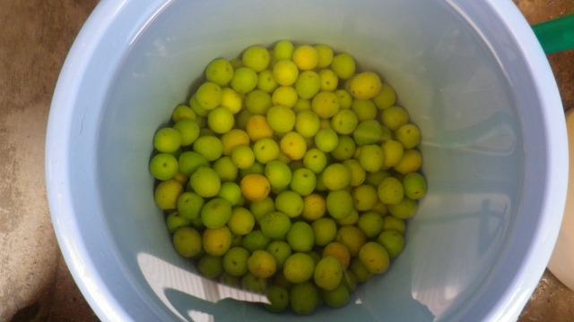 オリーブの新漬け作り