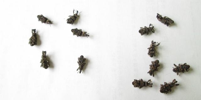 オリーブアナアキゾウムシの雌雄