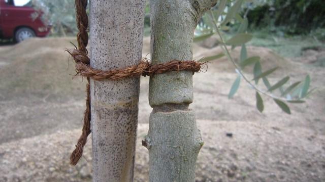 紐がオリーブに食い込んだ跡
