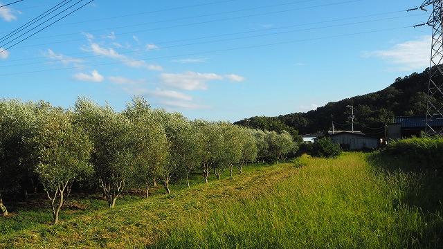 新しいオリーブ畑