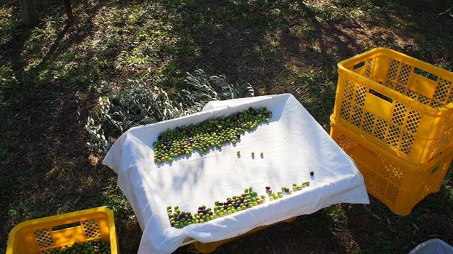 オリーブの選果作業
