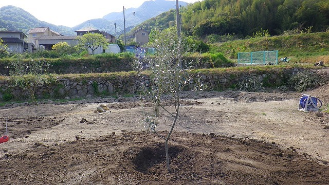オリーブの苗木を植える