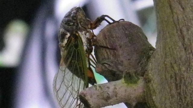 オリーブの木に産卵するクマゼミ