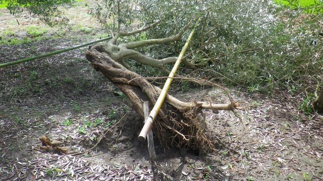 オリーブの竹の支柱。倒木