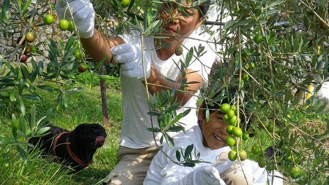 家族皆でオリーブの収穫