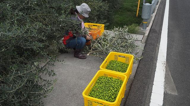 オリーブの収穫・コンテナ