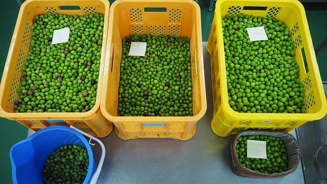オリーブの収穫・マンザニロ