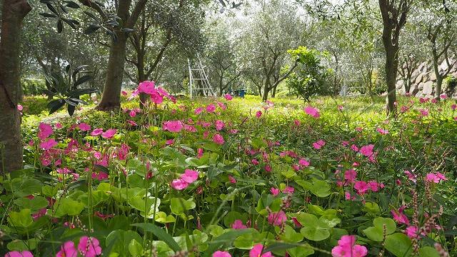 オリーブ畑に咲くカタバミ