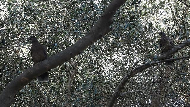 オリーブ畑のキジバト