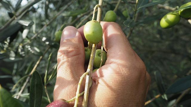 オリーブの摘み方