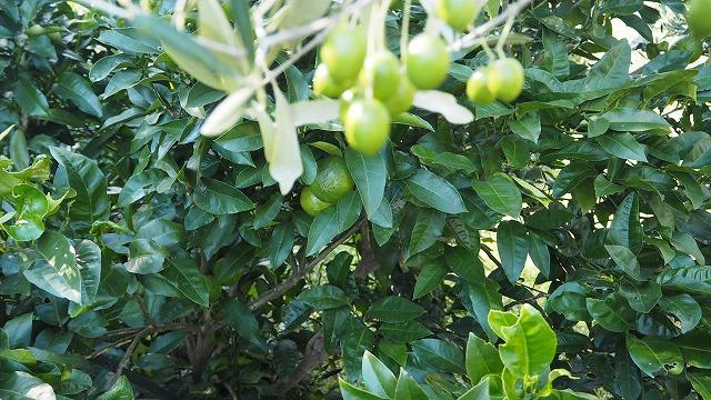 オリーブ畑のベルガモット