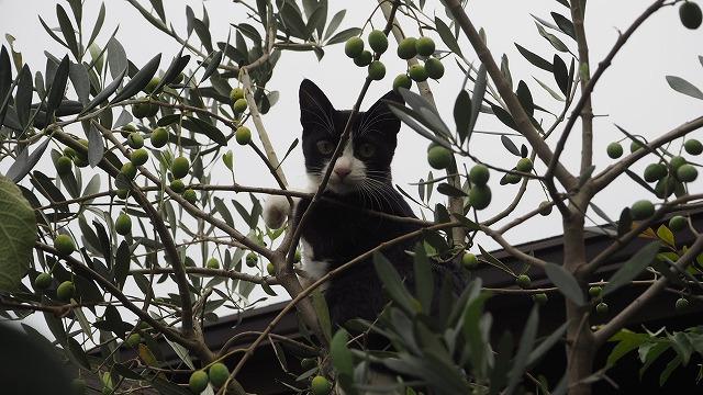 オリーブ猫