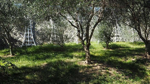 収穫を待つオリーブ畑