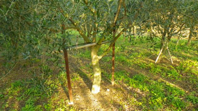 オリーブの支柱
